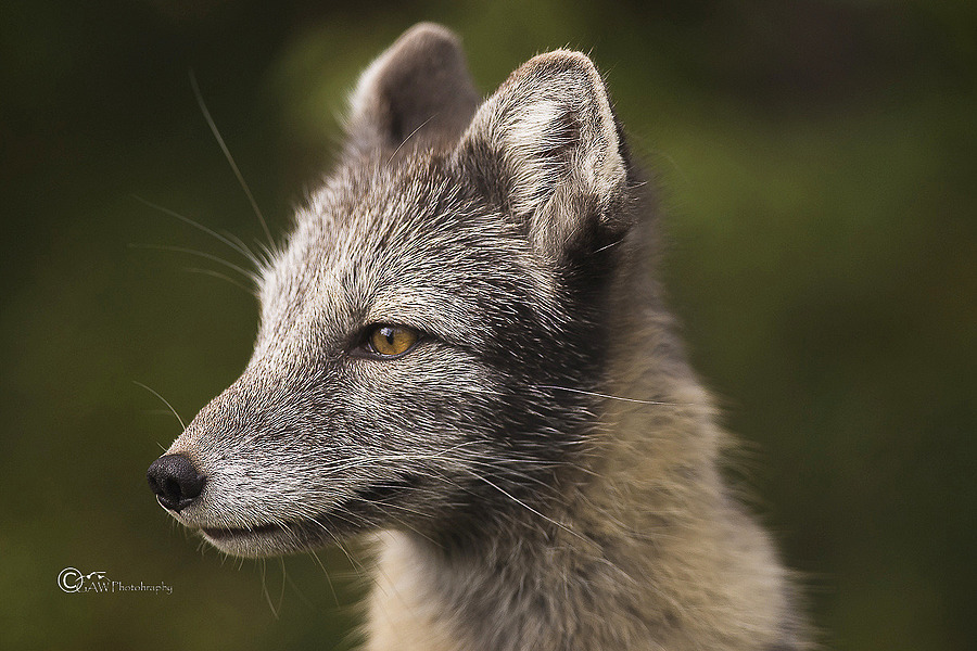 Artic fox | NIKON 300MM F/4D ED-IF AF-S <br> Click image for more details, Click <b>X</b> on top right of image to close