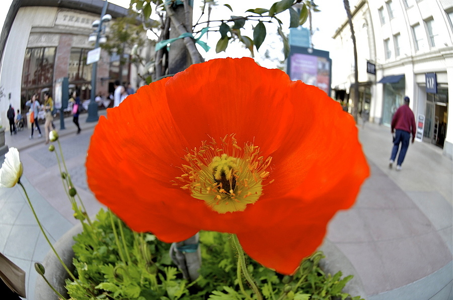 wide angle red poppy | LENS MODEL NOT SET <br> Click image for more details, Click <b>X</b> on top right of image to close