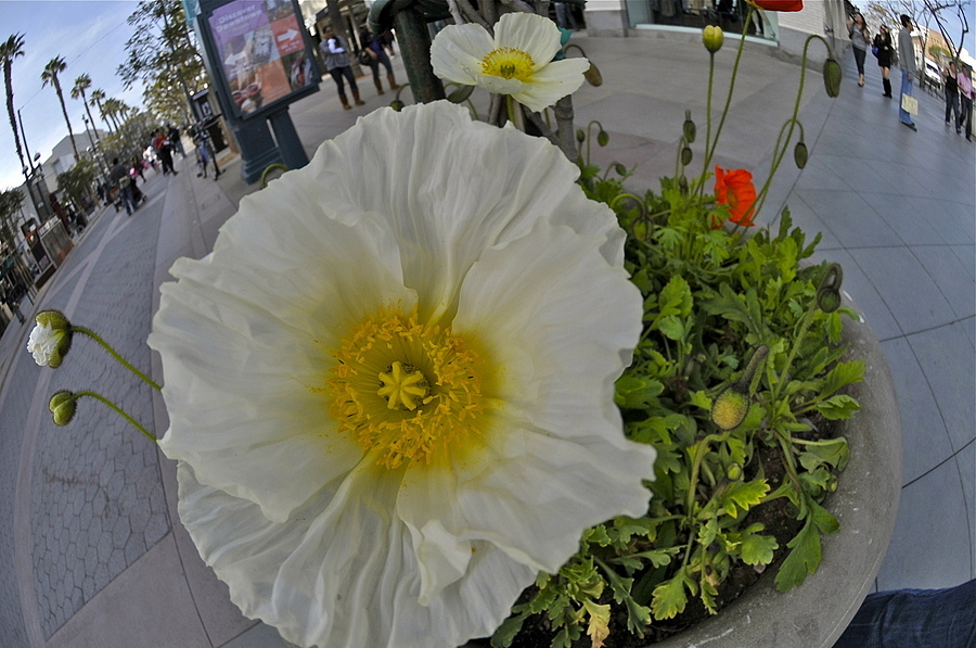White Poppy in Santa Monica, LA | NIKON 10.5MM F/2.8G ED AF DX FISHEYE <br> Click image for more details, Click <b>X</b> on top right of image to close