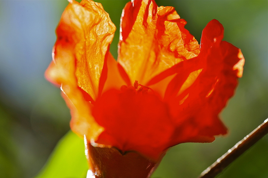 Flaming Flower | NIKON 105MM F/2.5 <br> Click image for more details, Click <b>X</b> on top right of image to close