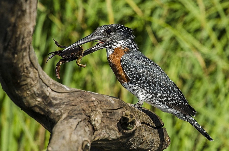 Giant Kingfisher | NIKON 400MM F/2.8D ED-IF AF-I <br> Click image for more details, Click <b>X</b> on top right of image to close