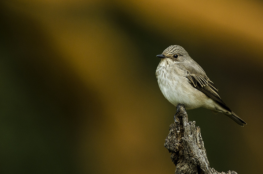 Spotted flycatcher | NIKON 400MM F/2.8D ED-IF AF-I <br> Click image for more details, Click <b>X</b> on top right of image to close