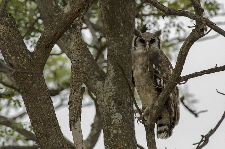 Giant Eagle owl | NIKON 400MM F/2.8D ED-IF AF-I <br> Click image for more details, Click <b>X</b> on top right of image to close
