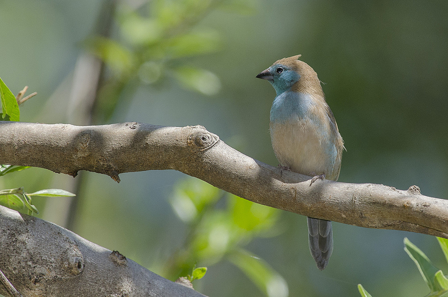Blue waxbill | NIKON 400MM F/2.8D ED-IF AF-I <br> Click image for more details, Click <b>X</b> on top right of image to close