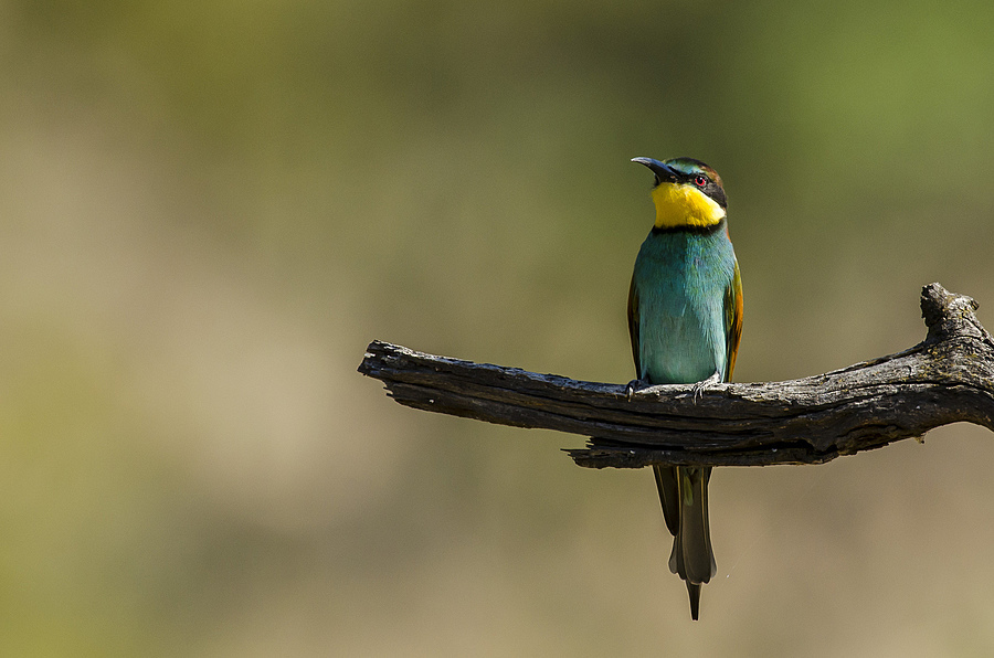 European Bee-eater | NIKON 400MM F/2.8D ED-IF AF-I <br> Click image for more details, Click <b>X</b> on top right of image to close
