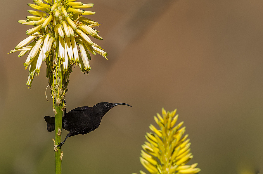 Black Sunbird | NIKON 400MM F/2.8D ED-IF AF-I <br> Click image for more details, Click <b>X</b> on top right of image to close
