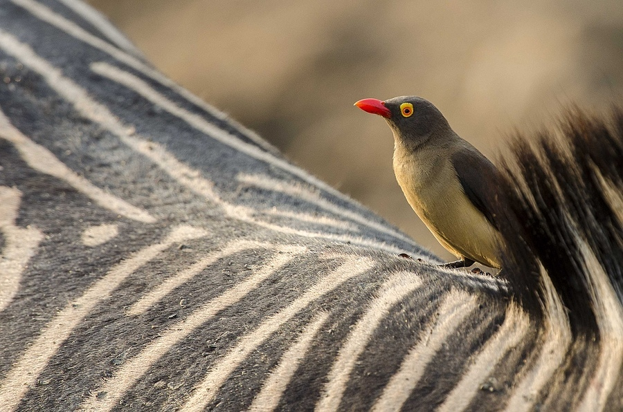 Red billed oxpecker | NIKON 400MM F/2.8D ED-IF AF-I <br> Click image for more details, Click <b>X</b> on top right of image to close