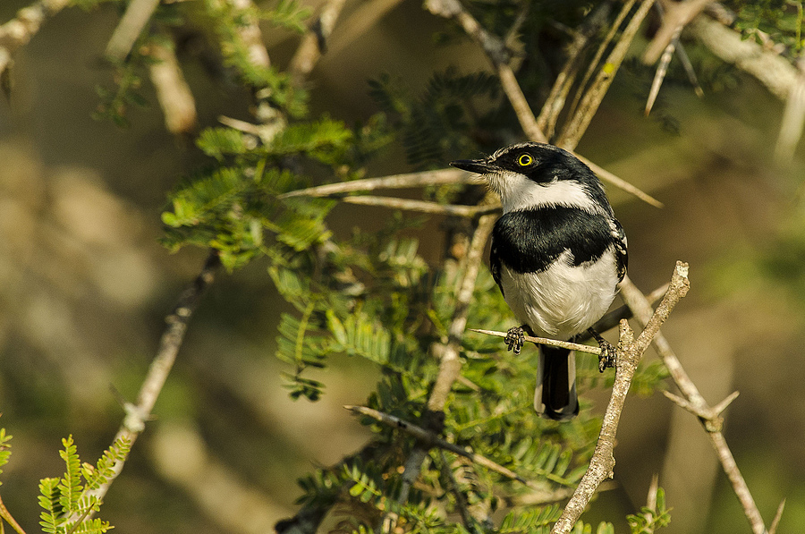 Chinspot batis | NIKON 400MM F/2.8D ED-IF AF-I <br> Click image for more details, Click <b>X</b> on top right of image to close