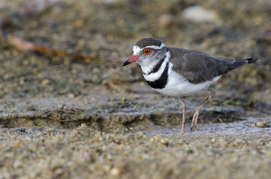 3 banded plover | NIKON 400MM F/2.8D ED-IF AF-I <br> Click image for more details, Click <b>X</b> on top right of image to close