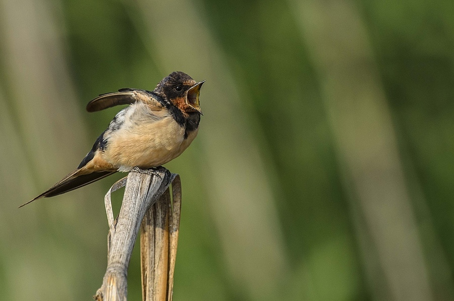 Barn Swallow | NIKON 400MM F/2.8D ED-IF AF-I <br> Click image for more details, Click <b>X</b> on top right of image to close